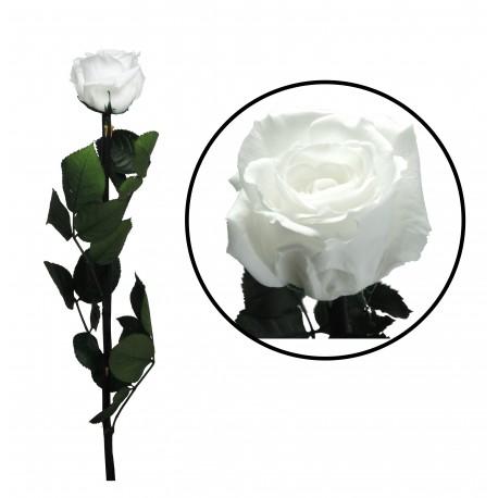 Rosa 55 cm Blanca Preservada