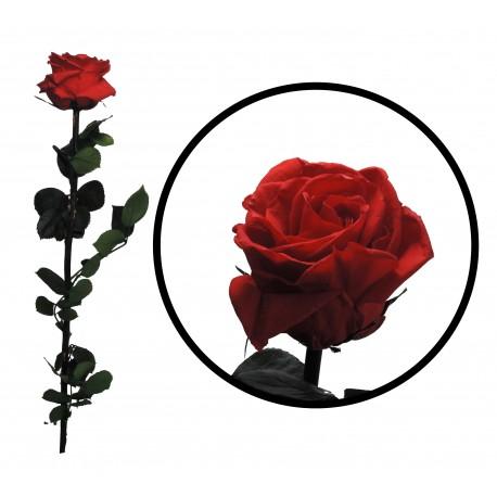 Rosa 55 cm Roja Preservada