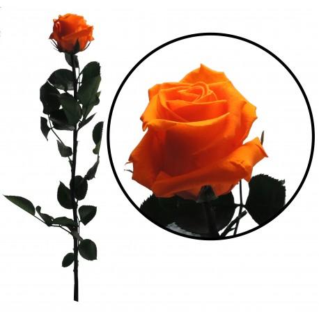 Rosa 55 cm Naranja Preservada