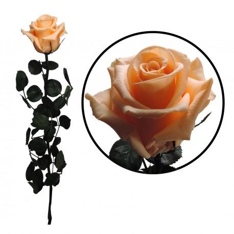 Rosa 55 cm Melocoton Preservada