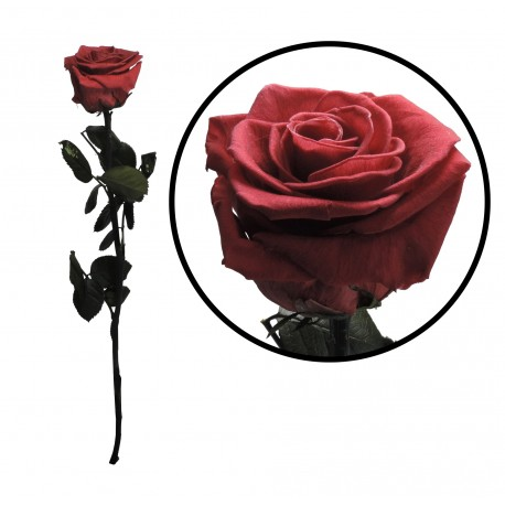 Rosa 55 cm Rosa Oscuro Preservada