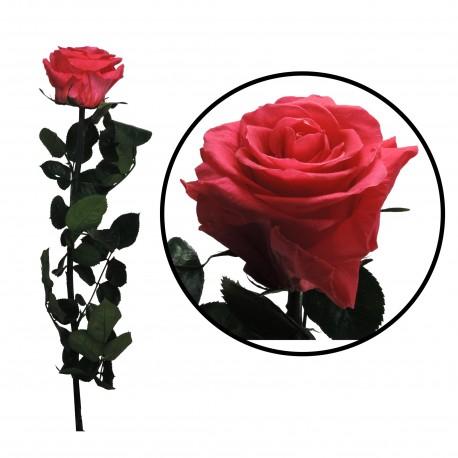 Rosa 55 cm Frambuesa Preservada