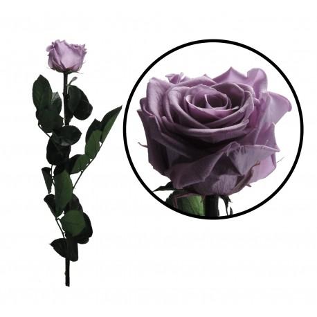 Rosa 55 cm Lila Preservada