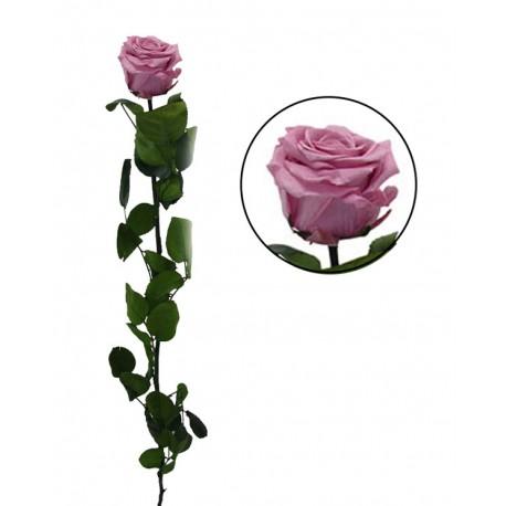 Rosa 55 cm Rosa Cerezo Preservada en caja de acetato
