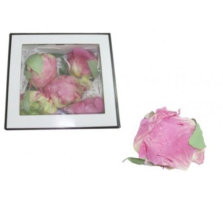 Peonia Rosa novia 5 uds Preservadas