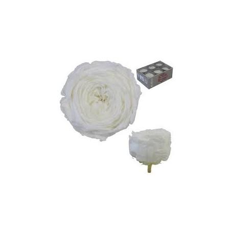 Rosa Jardín Blanca 6 uds Preservada