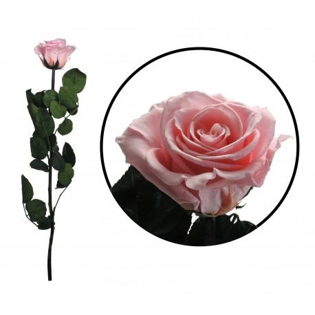 Rosa 55 cm Rosa Pastel Preservada